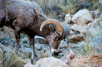Green River Utah - Rocky Mountain Big Horn Sheep